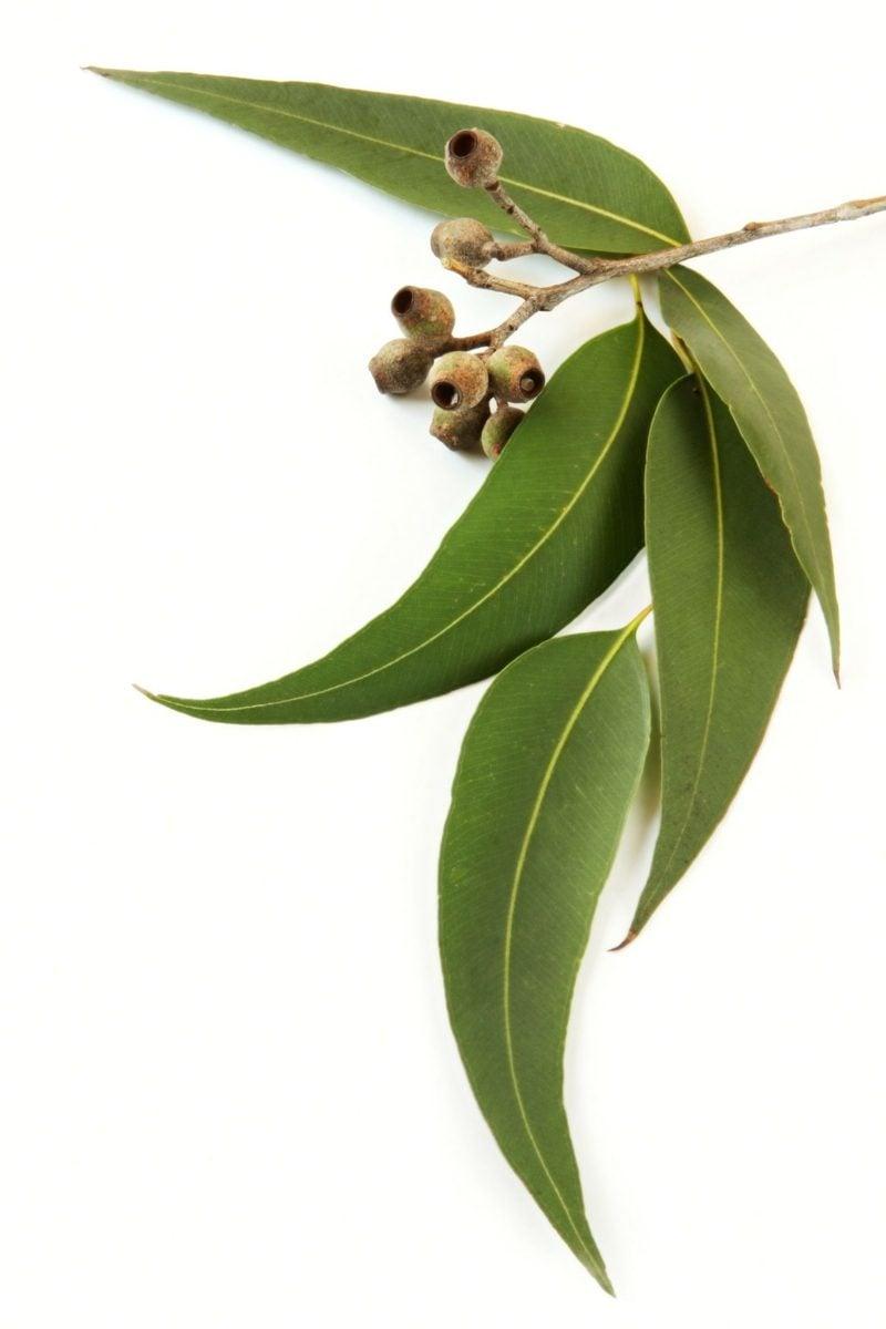 natürliche antibiotika eucalyptus