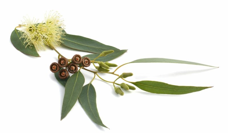 natürliche antibiotika eucalyptusstange