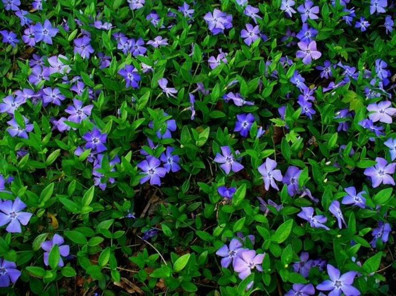 Schattenpflanzen Vinca