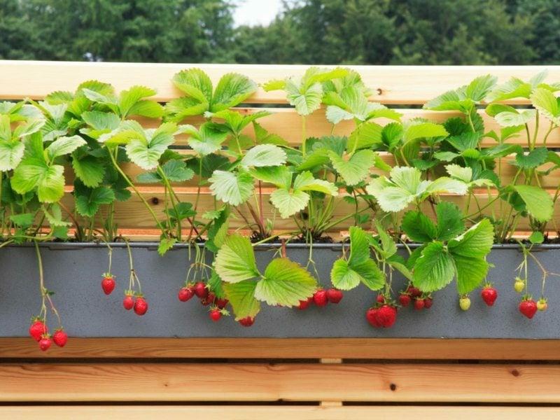 winterharte Fruchtpflanzen