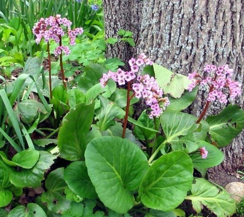 Bergenie schattenliebende Pflanzen