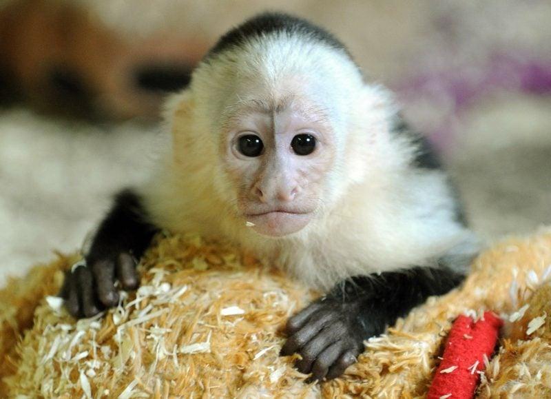 Affe Als Haustier Affe Als Haustier Eine Neue Exotische Mode Affe