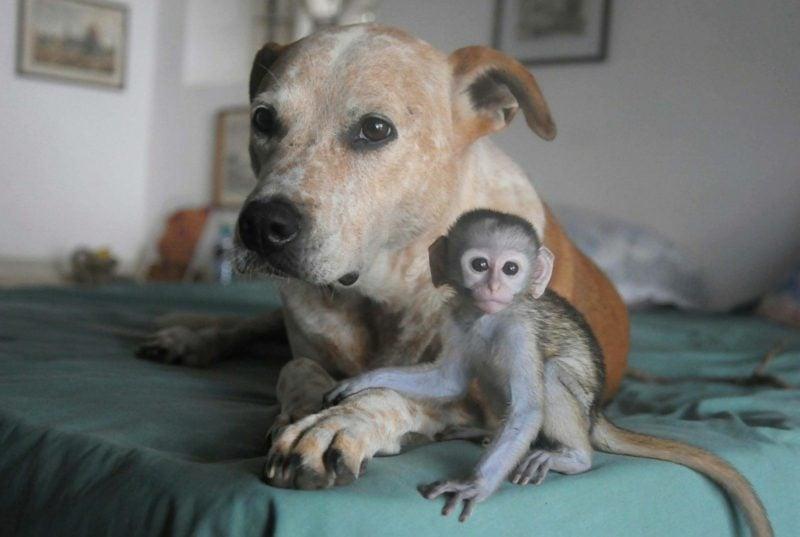 Affen als Haustier dog baby monkey