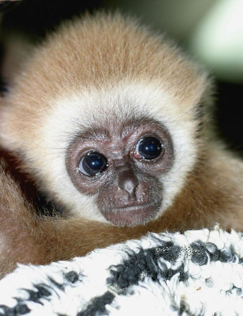 Affen als Haustier Cutiepiemonkey