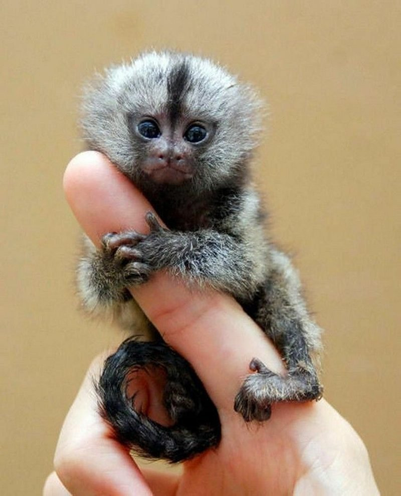Affen als Haustier Baby