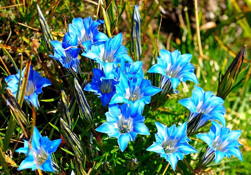 tiefblaue Blühten October Enzian