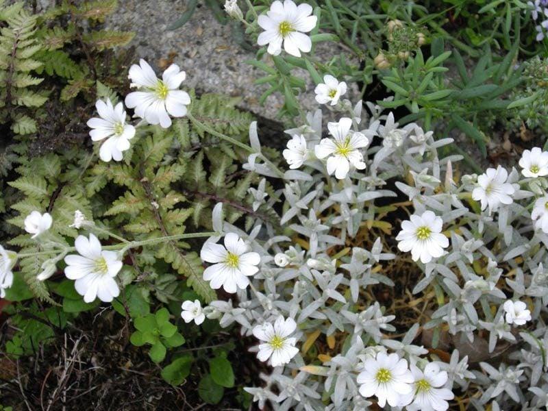 Hornkraut Cerastium tomentosum