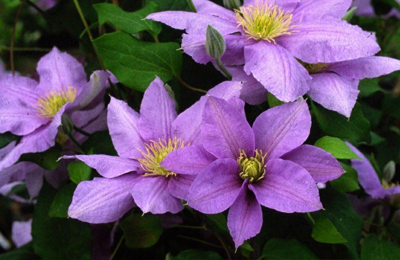 Clematis Parisienne lila
