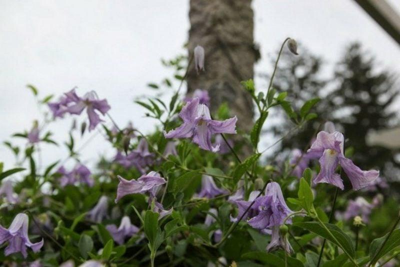 Gartengestaltung Clematis Sorten Betty Corning
