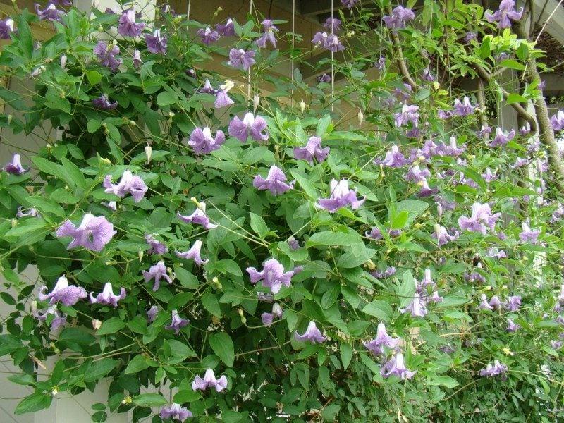 Clematis Betty Corning glockenformige Blühten