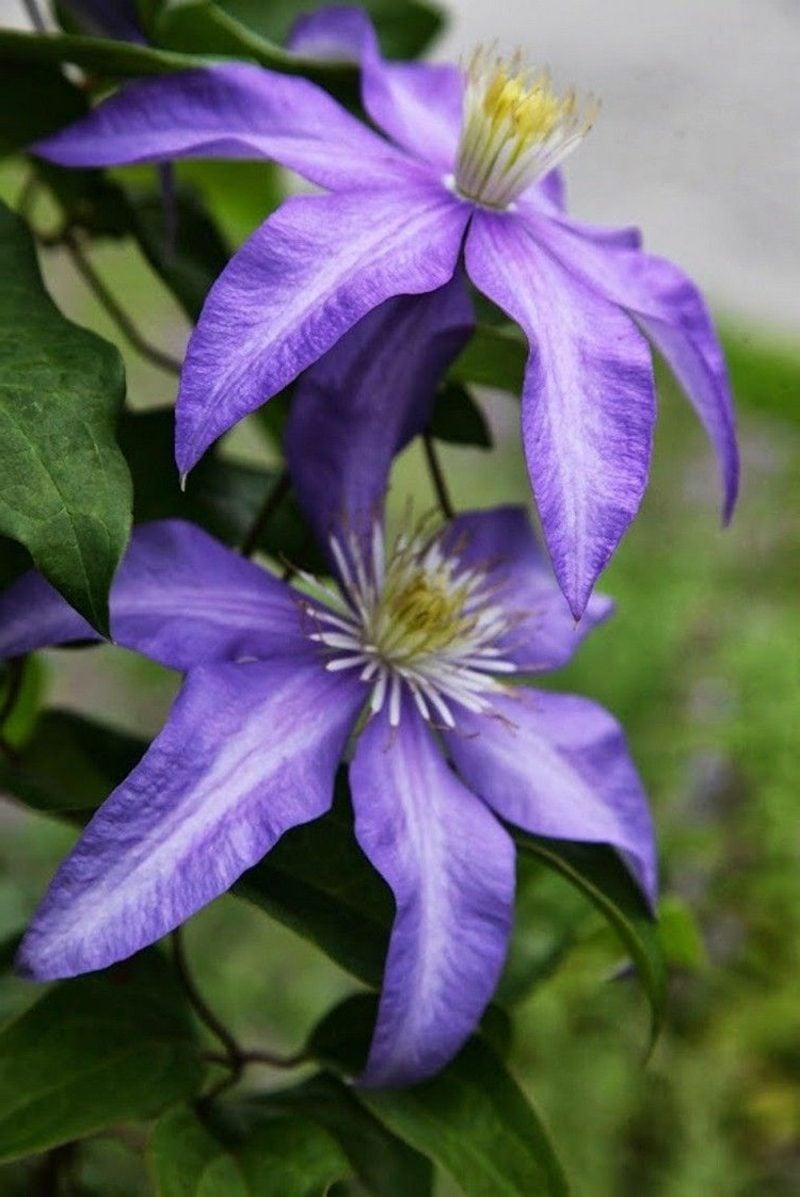 Clematis mit blau-violetten Blühten Sorte Daniel Deronda