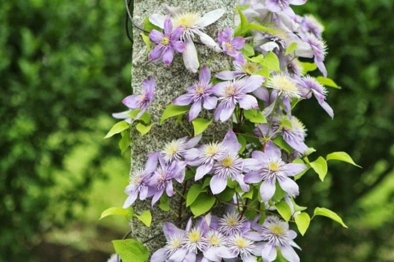 clematis viticella sorten 10 robuste clematis sorten sch ne kletterpflanzen f r garten. Black Bedroom Furniture Sets. Home Design Ideas