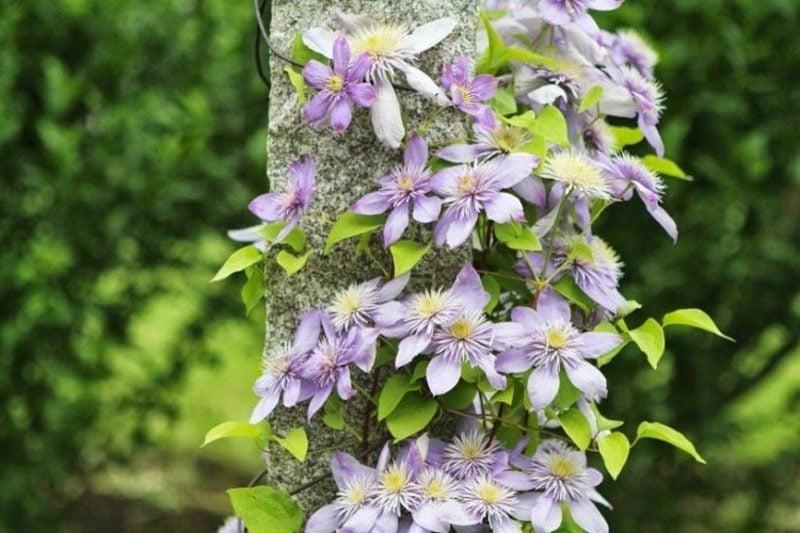 pflegeleichte Pflanzenarten Clematis