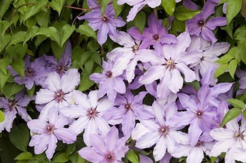 originelle Gartengestaltung Clematis Kletterpflanzen