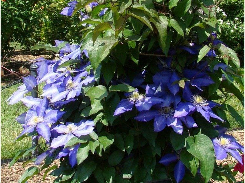 Clematis Daniel Deronda zarte dunkelblaue Blühten