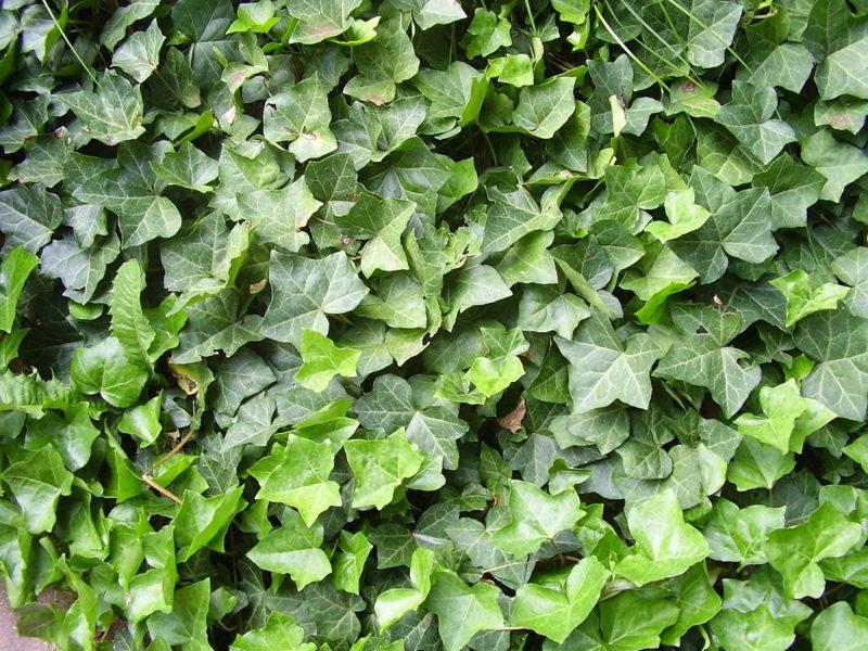 immergrüne Bodendecker Efeu Hedera Helix