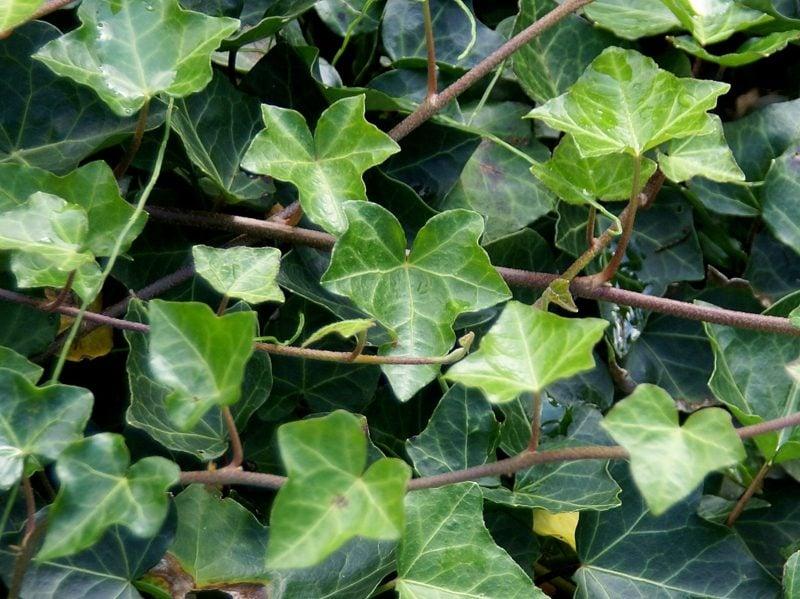 immergrüne Bodendecker Efeu