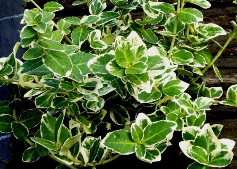 immergrüne Bodendecker Euonymus Fortunei