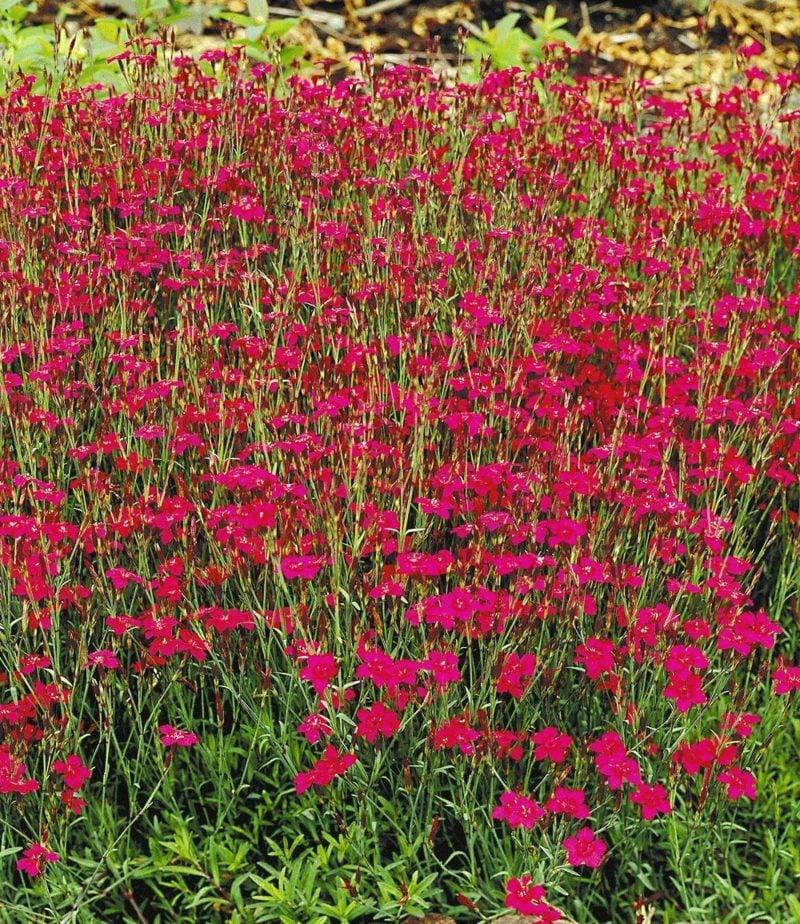 pflegeleichte Gartenpflanzen Polsterstauden