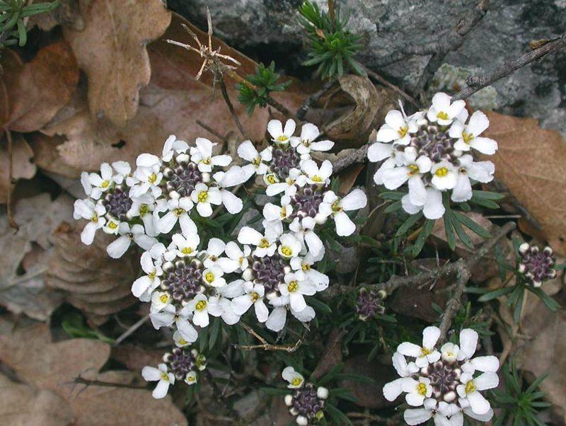 zarte weisse Blühten Schleifenblume