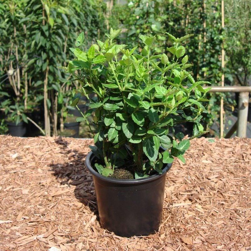 Bodendecker immergrün Kriechspindel