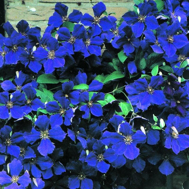 Clematis Jackmanii tiefblaue Blühten