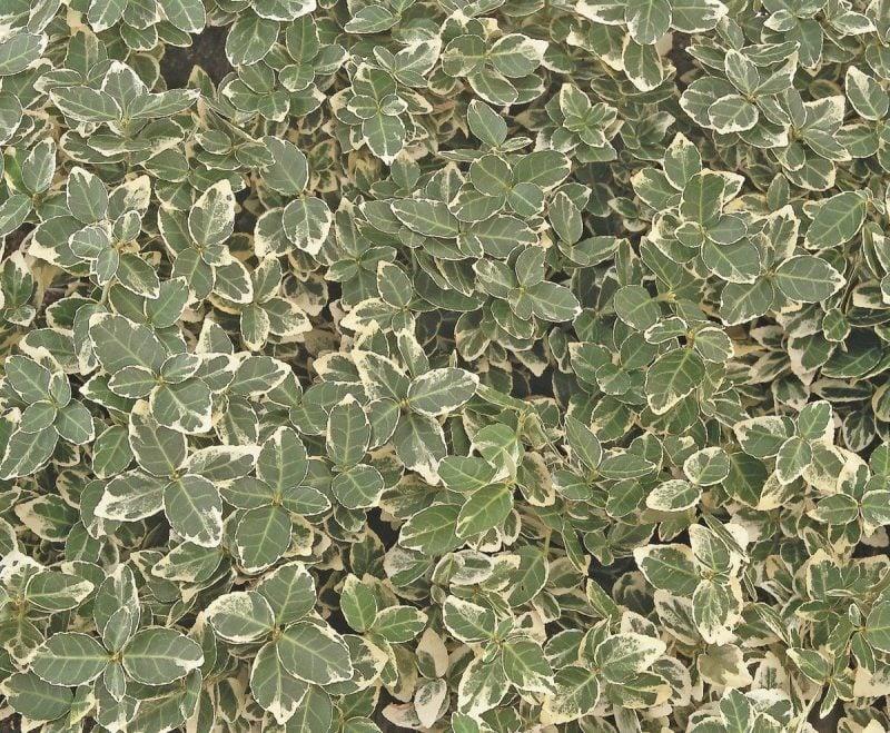 immergrüne Bodendecker Kriechspindel