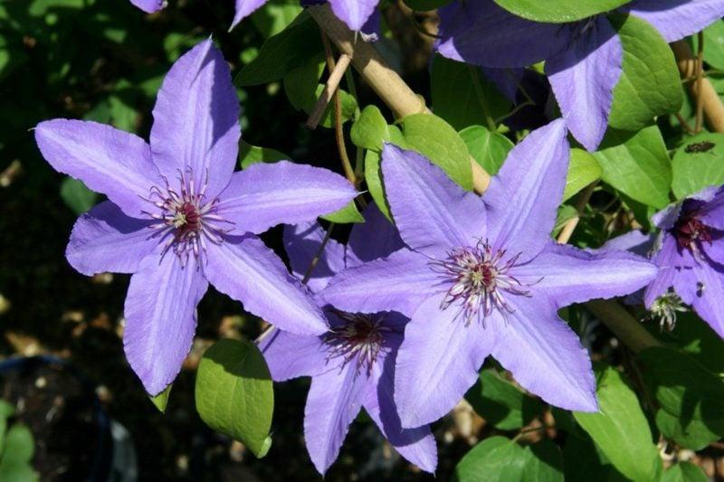Gartengestaltung Clematis Sorten