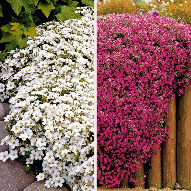 Polsterstauden Blühten Weiss und Rosa