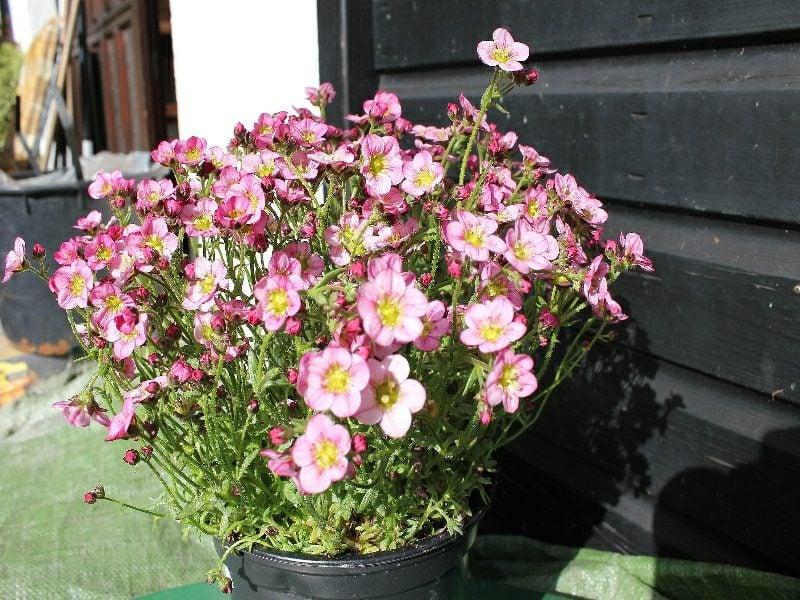 Blumentopf Polsterstauden