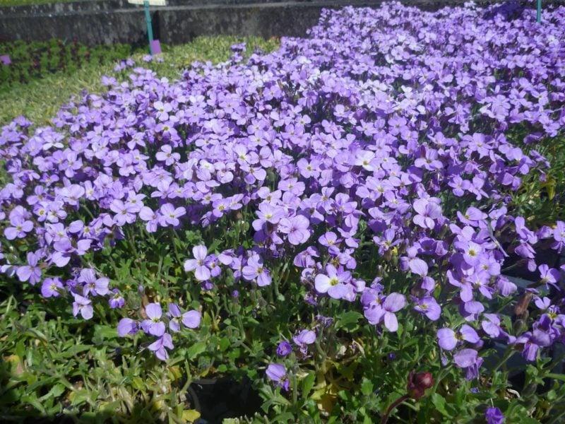 lila Blühten Polsterstauden