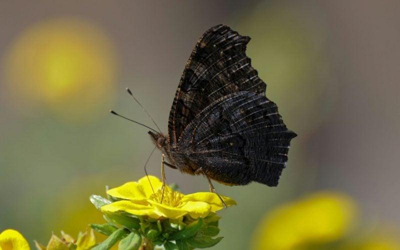 Schmetterling Bedeutung black