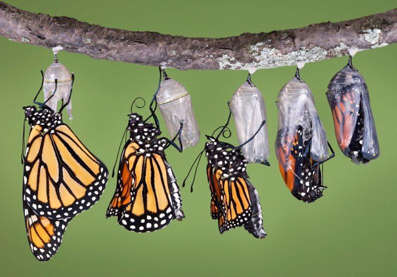 Schmetterling Bedeutung cocoons