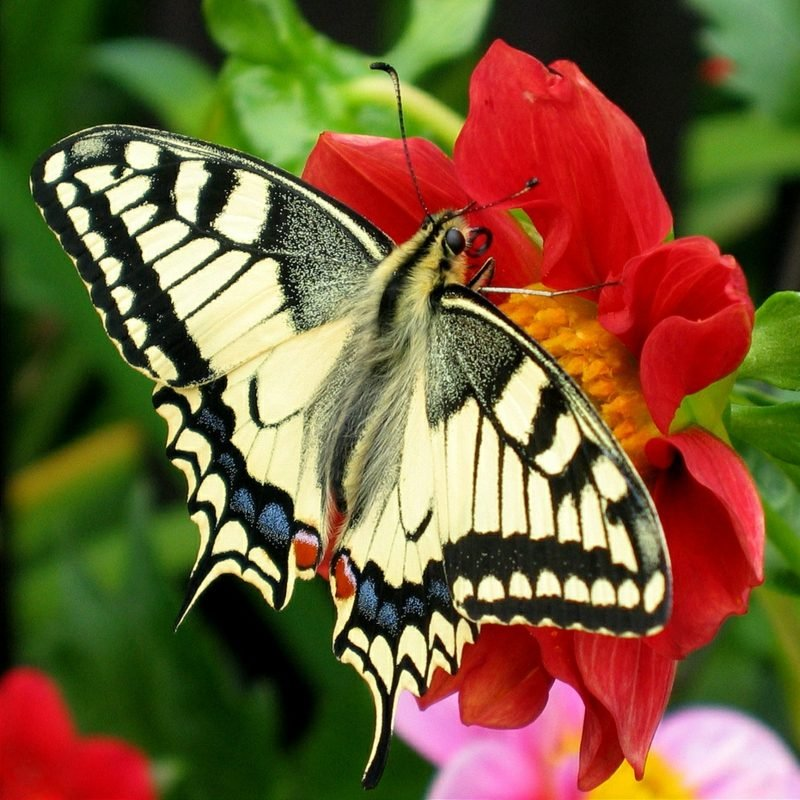 Butterfly meaning and symbols