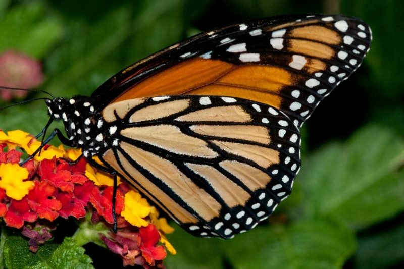 Schmetterling Bedeutung Monarch