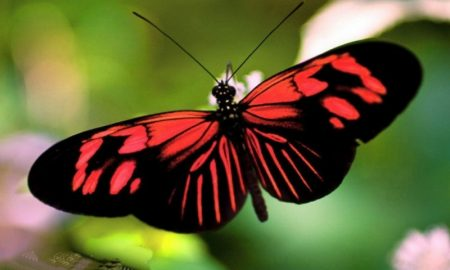 Schmetterling-Bedeutung-butterflies-wings-red-beauty-butterfly-green-black-phone-wallpapers-736x490