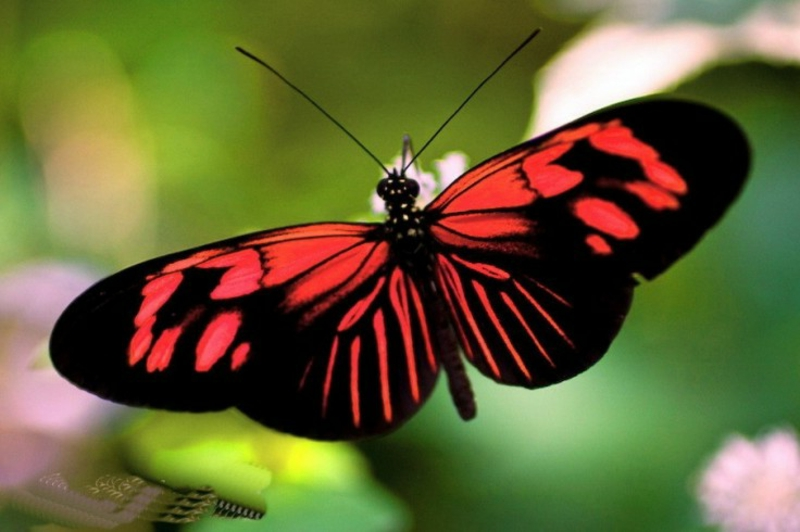 Schmetterling-Bedeutung-butterflies-wings-red-beauty-butterfly-green-black-phone-wallpapers-736x490