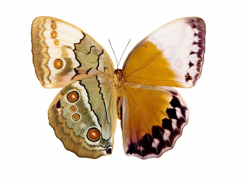 Schmetterling Bedeutung