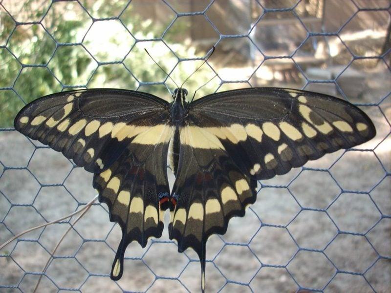 Schmetterling Bedeutung huge