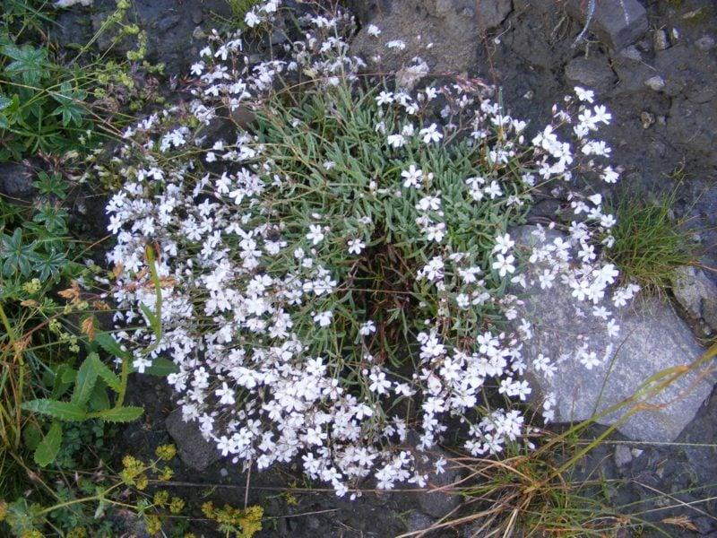 Teppichschleierkraut Weiss