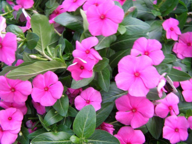 Immergrün rosa Blühten