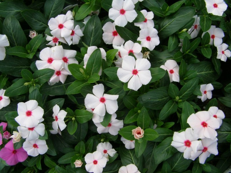 Immergrün weisse Blühten