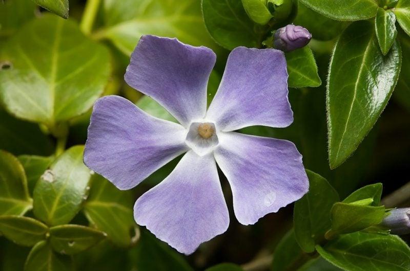 Immergrün lila Blühten