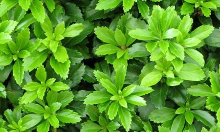 immergrüne Bodendecker Ysander