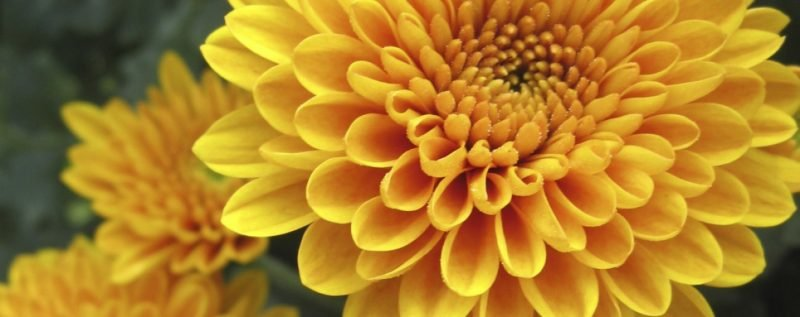 blumenarten chrysantheme