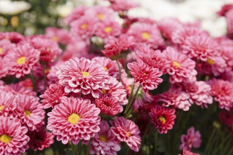 blumenarten chrysantheme pflanzenlexikon von blumensorten