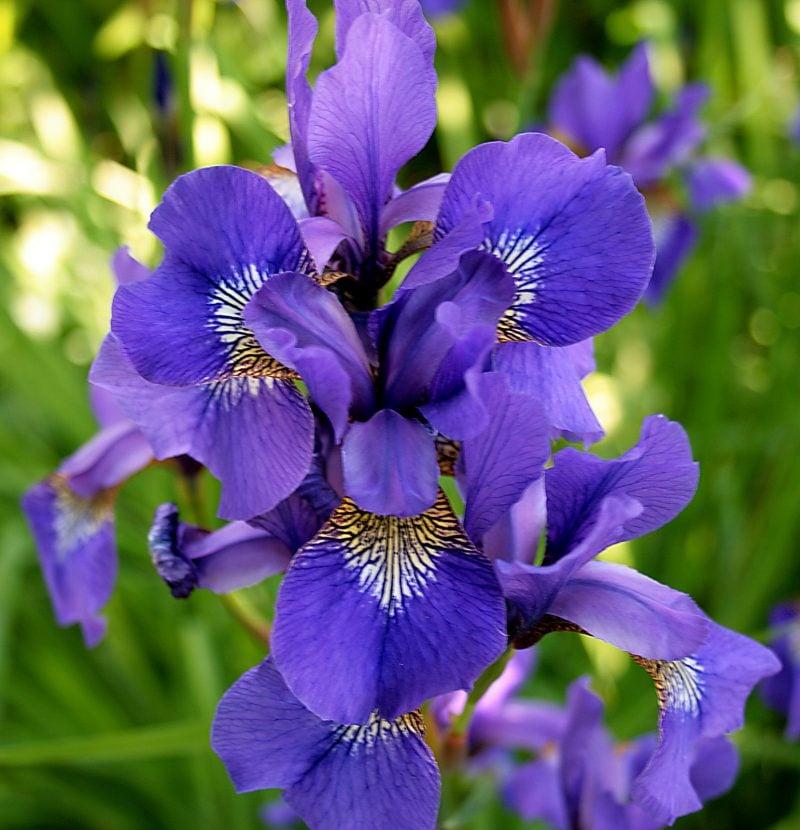 blumenarten iris