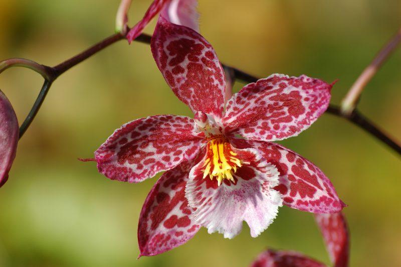 blumenarten orchidee