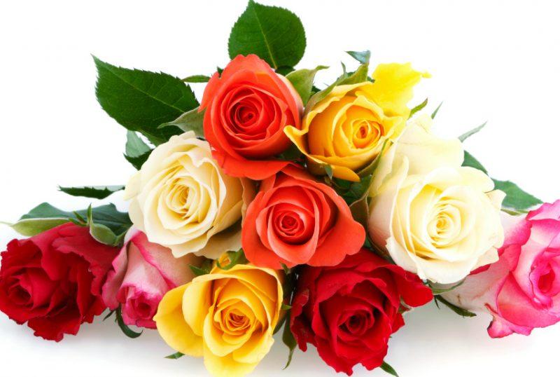 blumenarten rose