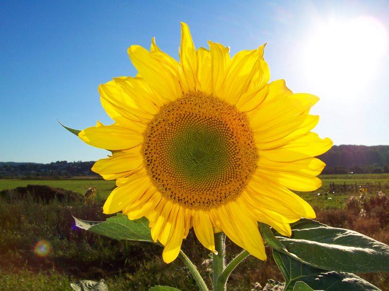 blumenarten sonnenblume